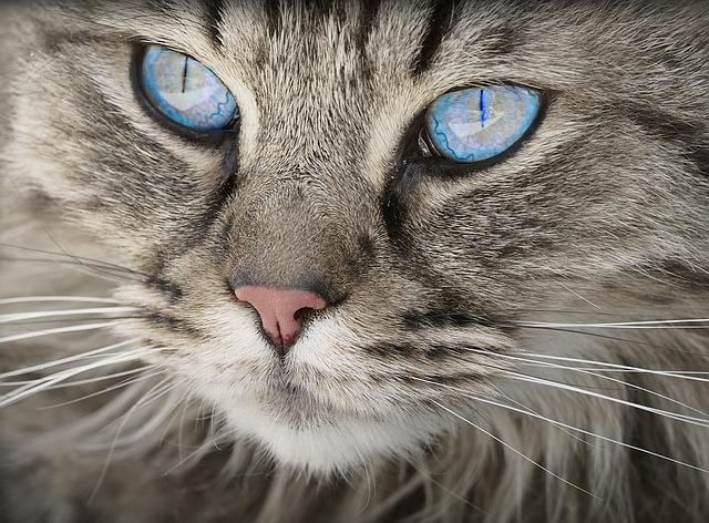 modré oči kočky
